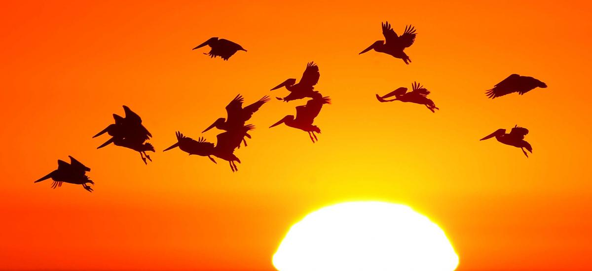 Pelicans flying over a sunset